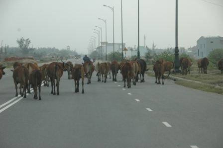 Hearding cows on freeway between Danang and Hoi An